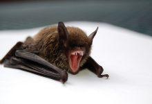 Photo of علماء يحذرون من فايروس جديد يهدد البشرية مصدره الخفاش